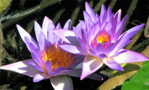 Водяные лилии озера Хевиз