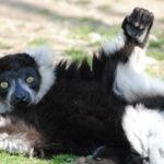 В зоопарке Владивостока открыли сезон прогулок с обезьянами и лемурами